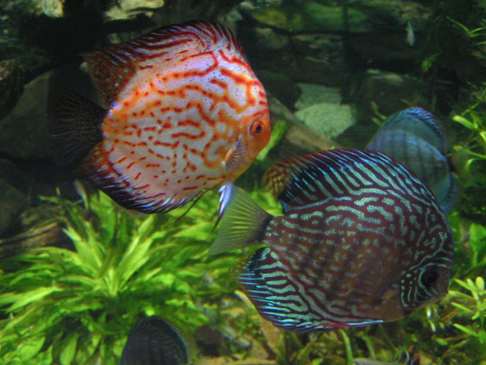 Vendita pesci per acquari como tom jerry merone for Pesci per acquario tropicale
